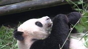 Pandy łasowania bambus podczas gdy kłaść na jego w Chengdu Chiny z powrotem zdjęcie wideo