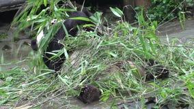 Pandy łasowania bambus podczas gdy kłaść na jego w Chengdu Chiny z powrotem zbiory