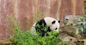 Pandy łasowania bambus przy zoo zbiory