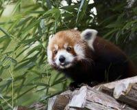 pandy śliczna czerwień Zdjęcia Royalty Free