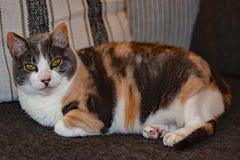 Pandy η γάτα Στοκ Εικόνες