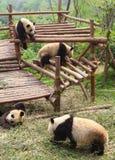 pandy Zdjęcie Stock