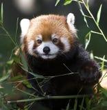 pandy czerwień Obrazy Stock