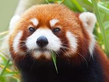 pandy czerwień zdjęcie stock