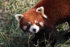 pandy czerwień Obraz Royalty Free