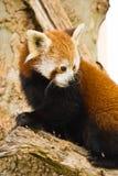 pandy czerwień Obrazy Royalty Free