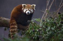 pandy czerwień Zdjęcia Royalty Free