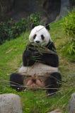 Pandy gigantyczny Łasowanie obrazy stock