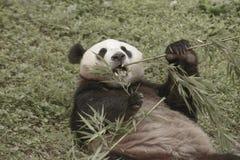 Pandy konserwaci teren, Chengdu Fotografia Royalty Free