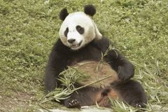 Pandy konserwaci teren, Chengdu Zdjęcie Royalty Free