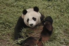 Pandy konserwaci teren, Chengdu Obrazy Stock