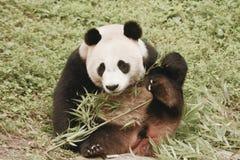 Pandy konserwaci teren, Chengdu obrazy royalty free