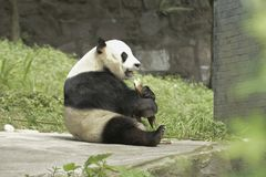 Pandy konserwaci teren, Chengdu Zdjęcie Stock