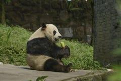 Pandy konserwaci teren, Chengdu Zdjęcia Stock