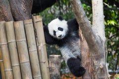 Pandy lisiątko bawić się w drzewie fotografia stock