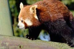 pandy odprowadzenie czerwony drzewny Fotografia Royalty Free