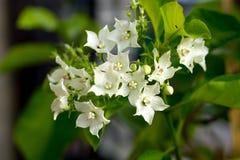 Pane a flor, globra Ktze de Vallaris, exo perfumado, aromático branco Fotos de Stock Royalty Free