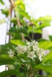 Pane a flor, globra Ktze de Vallaris, perfumado branco Fotografia de Stock Royalty Free