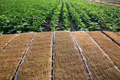 Panel av torkad tobakodlare och tobak Arkivbilder