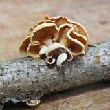 Panellus stipticus蘑菇 图库摄影
