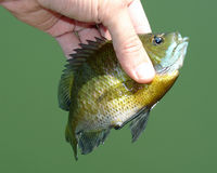 Panfish royalty free stock images