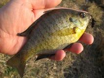 Panfish in der Hand Stockfoto