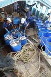 Pangasius鲶鱼从主要小船tranfered到加工设备由桶 库存照片