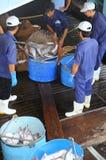 Pangasius鲶鱼从主要小船tranfered到加工设备由桶 免版税图库摄影