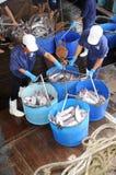 Pangasius鲶鱼从主要小船tranfered到加工设备由桶 免版税库存图片