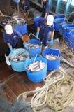 Pangasius鲶鱼从主要小船tranfered到加工设备由桶 免版税库存照片