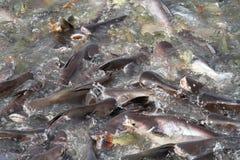 Pangasius äter fiskmatning Royaltyfri Foto