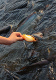 Pangasius fish eat the bread Stock Images