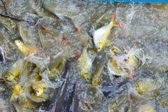 Pangasius fisk och karp Royaltyfri Foto