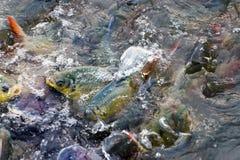 Pangasius schwimmen auf der Oberfläche stockfotografie