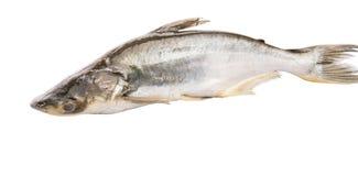 Pangasius Sutchi Fish III Stock Photos