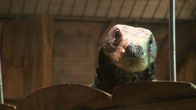 Pangolin στο κυνήγι απόθεμα βίντεο