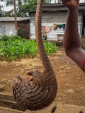 Pangolin africano posto em perigo que está sendo sustentado para a venda pelo caçador furtivo no lado da estrada, República dos C Foto de Stock