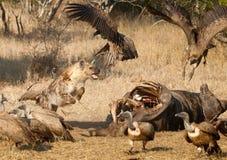 Hyena fight Stock Image