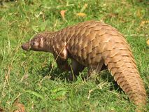 Pangolin indien photographie stock
