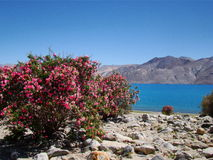 Pangong lake with pink flowers stock photography