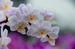 Panicle орхидеи Стоковая Фотография