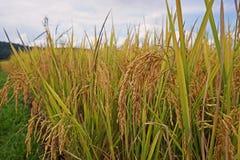Panicle риса, грязное заболевание зерна стоковые фотографии rf