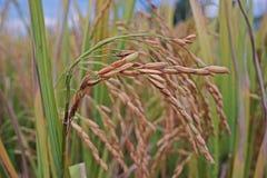 Panicle риса, грязное заболевание зерна стоковые фото