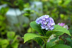 Panicle фиолетовых цветков Стоковая Фотография RF