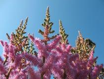 Panicle astilby (Astilbe, Saxifragaceae) contro la t Immagine Stock Libera da Diritti