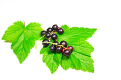 Panicle black currant on green leaves Royalty Free Stock Images