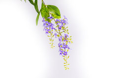 Panicle blommor Royaltyfria Foton