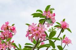 Panicle der rosa Wüstenrose stockfotografie