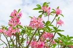 Panicle der rosa Wüstenrose stockfotos