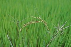 Panicle do arroz, doen?a suja da gr?o imagens de stock royalty free